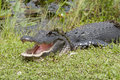 Alligator from miami usa emerges pond mouth open displaying teeth and large tongue Stock Image