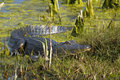 Alligator mississippiensis, american alligator Royalty Free Stock Photos