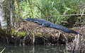 Alligator Napping in Swamp Royalty Free Stock Photo