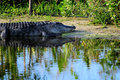 Alligator Resting Royalty Free Stock Photos