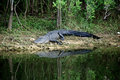 Alligator on riverbank about to enter water a large black is the in the everglades of florida the Royalty Free Stock Image