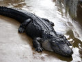 Alligator runoff Royalty Free Stock Images