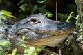 Alligator staring big cypress national preserve florida mississippiensis Royalty Free Stock Image