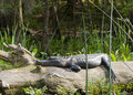 Alligator sunning on log Royalty Free Stock Photo