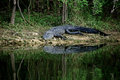 Alligator about to enter river a large black is the in the everglades of florida Stock Photography