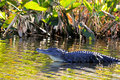Alligator in Wetland Royalty Free Stock Photos