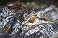 Alligatoröga Royaltyfri Foto