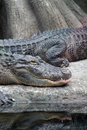 Alligators Photo stock