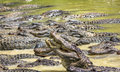 Alligators competing for food in the river in everglades national park florida usa america Royalty Free Stock Photo