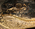 Alligatorseitliches Portrait Stockbild