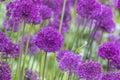 Allium allium giganteum in full flower Stock Photography