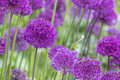 Allium allium giganteum in full flower Royalty Free Stock Photo