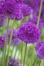 Allium allium giganteum in full flower Royalty Free Stock Images