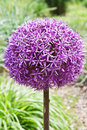 Allium blooming purple ornamental onion Royalty Free Stock Images