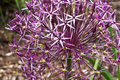 Allium blooming purple ornamental onion Stock Images