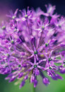 Allium in blooming season Stock Photos