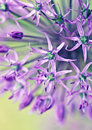 Allium in blooming season after rain Stock Photos