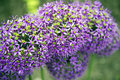Allium bloosoms decorative bloosom in summer time in purple colors Stock Photography