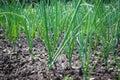 Allium cepa Royalty Free Stock Photo