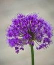 Allium close up of flower Stock Photo