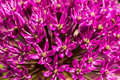 Allium close up on a pink flower Stock Photos
