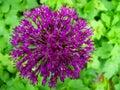 Allium flower Royalty Free Stock Photo