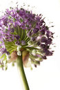Allium - Flower Royalty Free Stock Images