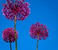 Allium flower blooming with blue sky background giant leek giganteum Royalty Free Stock Photo