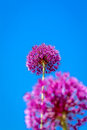 Allium flower blooming with blue sky background giant leek giganteum Royalty Free Stock Image