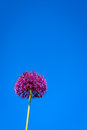 Allium flower blooming with blue sky background giant leek giganteum Royalty Free Stock Photos