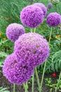 Allium flowers Stock Images