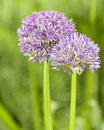 Allium Globemaster Stock Image