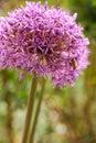Allium globemaster with bee purple round star flower Royalty Free Stock Photography
