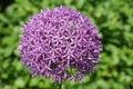 Allium globemaster flowers of the spring Royalty Free Stock Photo