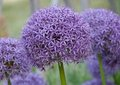 Allium hollandicum purple sensation flower Stock Photo