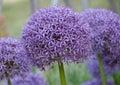 Allium hollandicum purple sensation flower Royalty Free Stock Photo