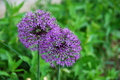 Allium inflorescence of a pink umbels in a park Royalty Free Stock Photo