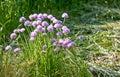Allium onion decorative decorative onion Royalty Free Stock Image