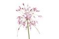 Allium Pulchellum Flowerhead
