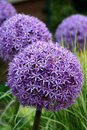 Allium purple bulbs Royalty Free Stock Images