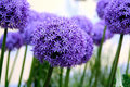 Allium purple bulbs Stock Images