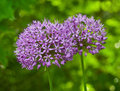 Allium Purple Sensation in the Garden Royalty Free Stock Image
