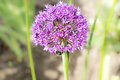 Allium violett blooming ball with bee Stock Photos
