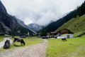 Alm in the stubai mountains in tyrol pinnestal steep a house and grazing cows overcast sky Royalty Free Stock Photo