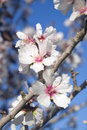Almond blossom close up Stock Image