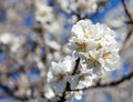 Almond blossom flowering on tree Royalty Free Stock Image