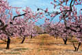 Almond blossoms Royalty Free Stock Image