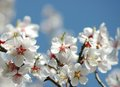 Almond flower blossoms spring Royalty Free Stock Images
