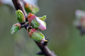 Almond flower buds Royalty Free Stock Images