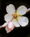 Almond flower springtime